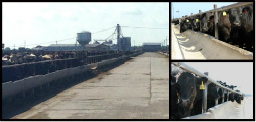 What once used to be a WWII Army air core base with 2,500 men stationed there has now become a temporary home to more than 20,000 cattle fed by Tiffany Cattle Co. every year.