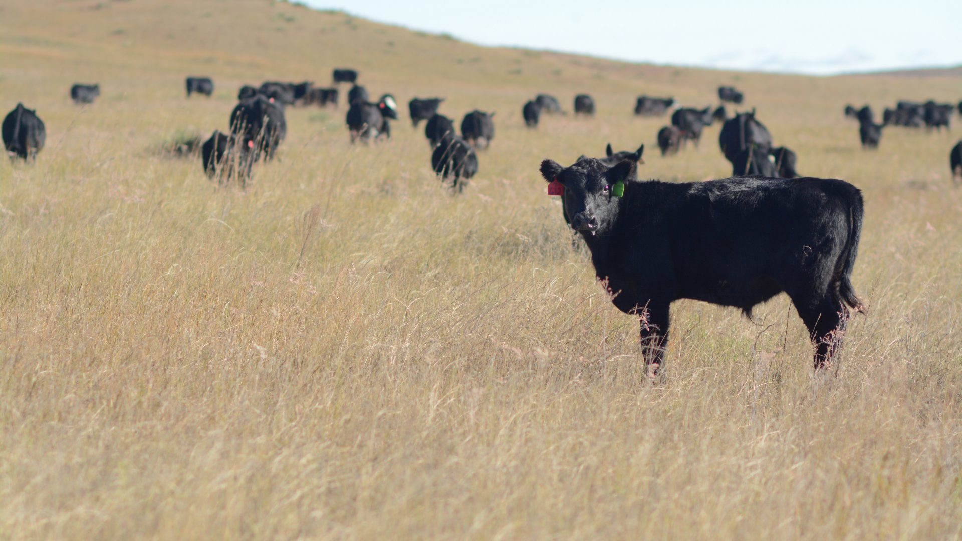 To add value to Angus calves, target this brand