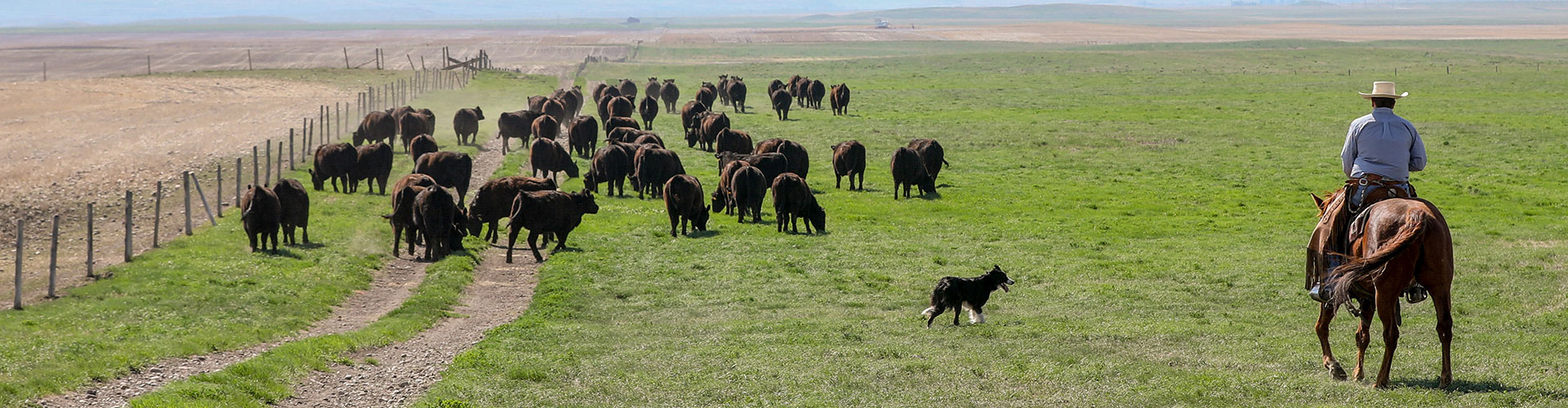 Rancher and dog herding Angus cattle - At the Table The Code