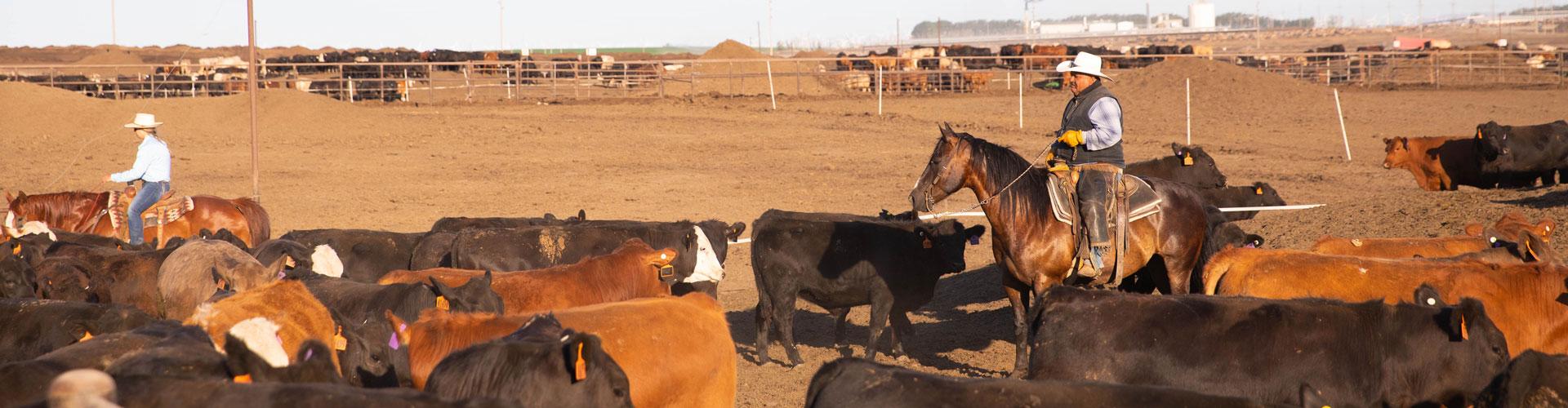 Beef NW pen riders