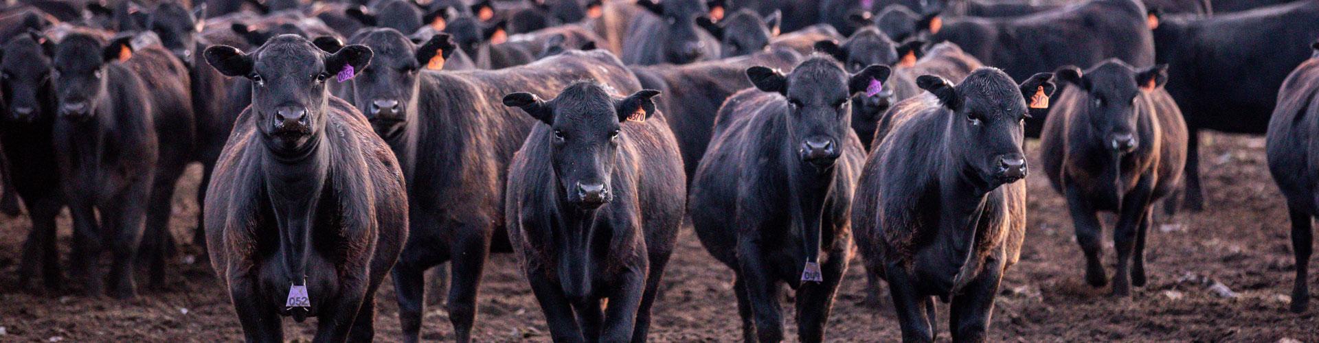 Rutan stocker calves