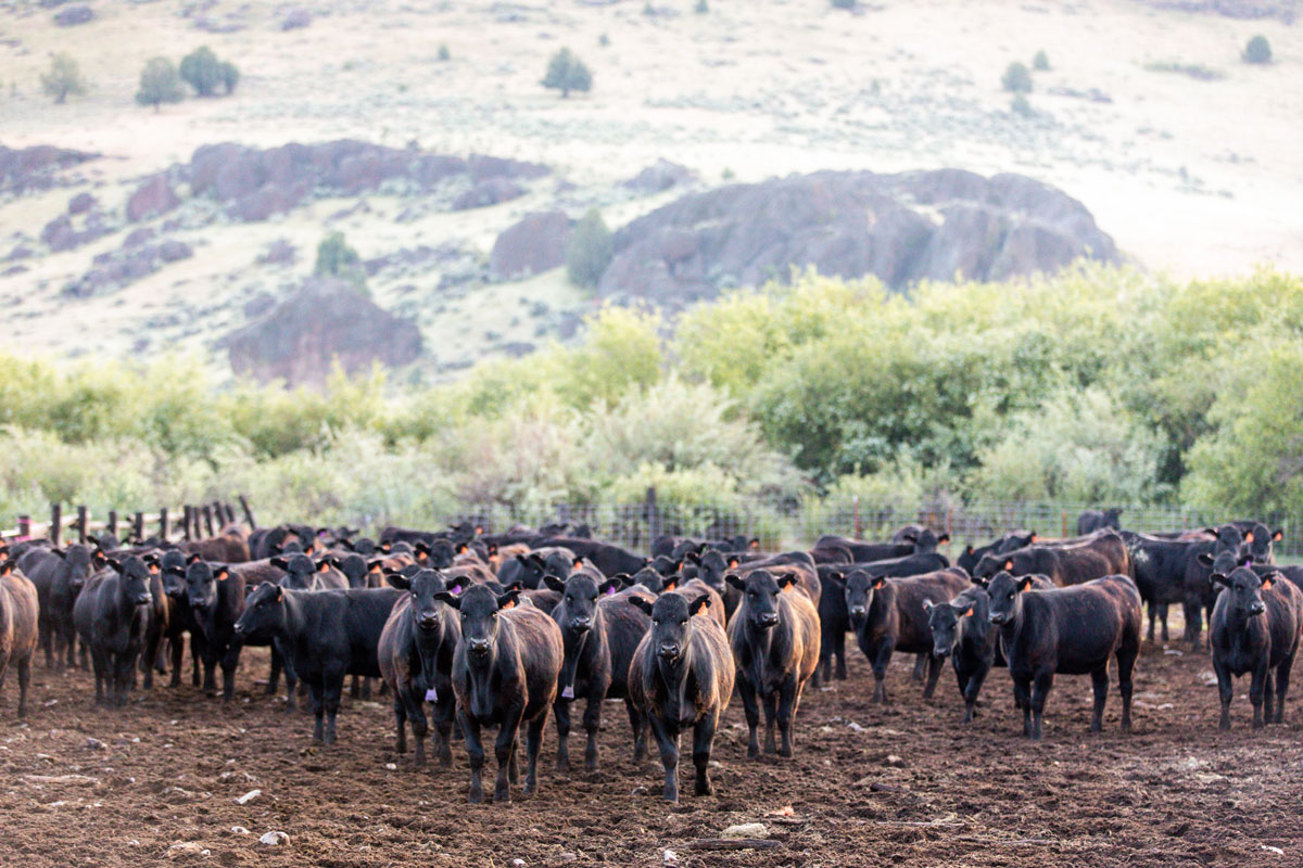 Morgan Ranches feeder calves