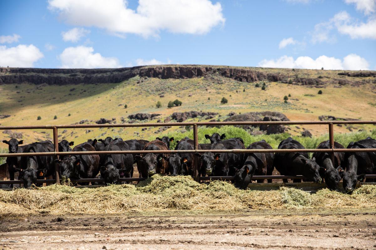 Morgan Ranches feeder calves at the bunk