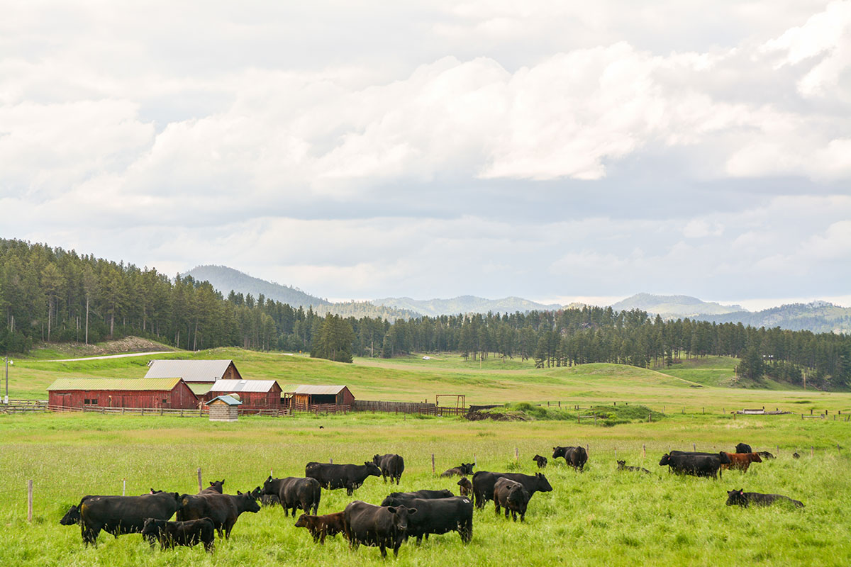 Black Ink: taste of change, cattle grazing