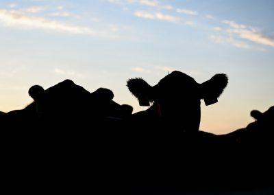 steer silhouette