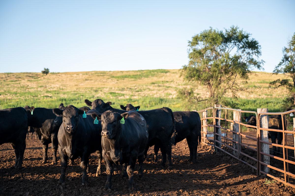 M&M feedyard cattle