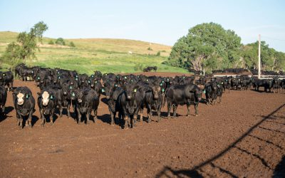 Carcass quality spreads widen on seasonal demand