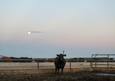 steer at dusk