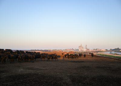 feedyard