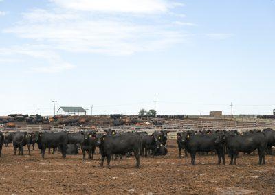 fed steers