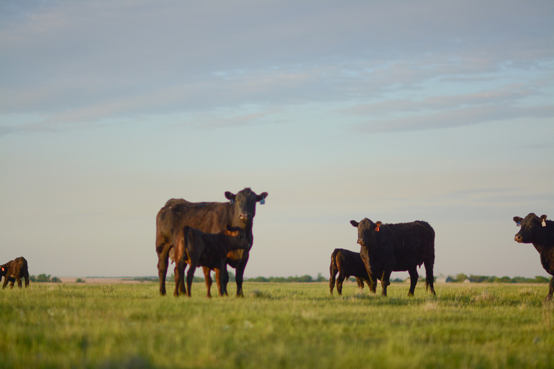 Uniform cattle increase profit potential