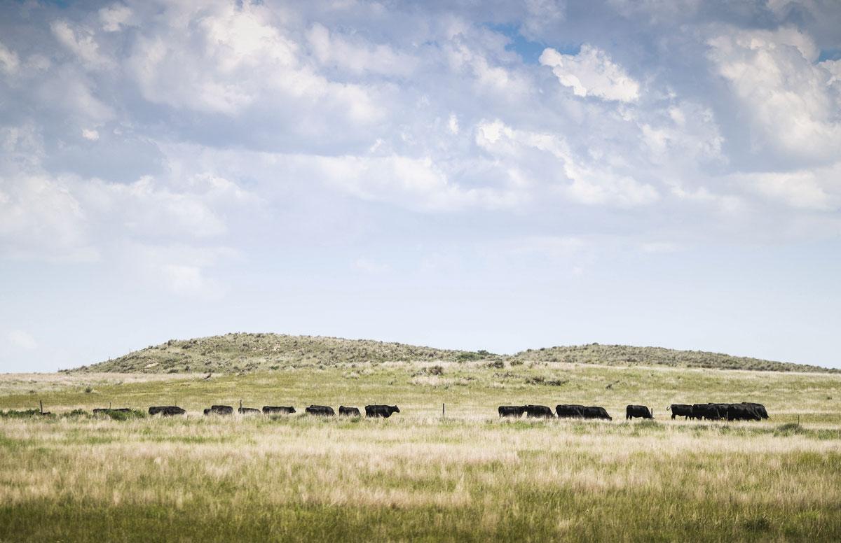 cows on the horizon grazing